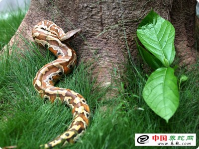 蟒蛇养殖业