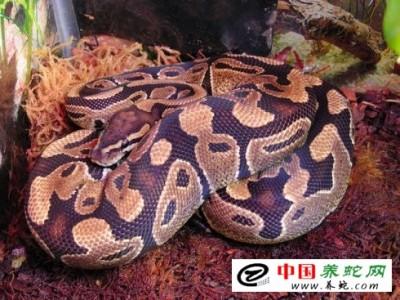 广西蟒蛇养殖