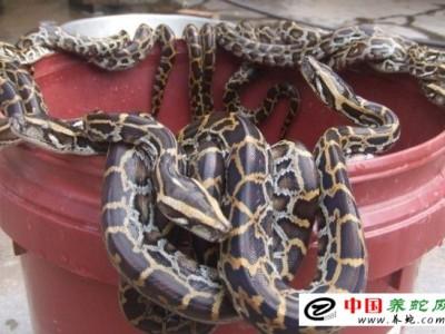 文昌蟒蛇养殖