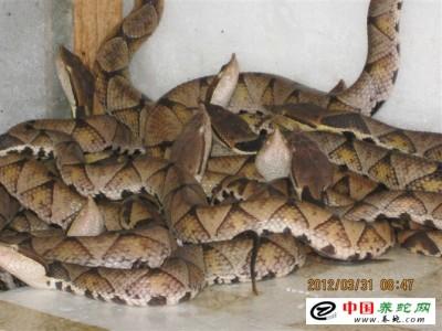 浙江五步蛇养殖