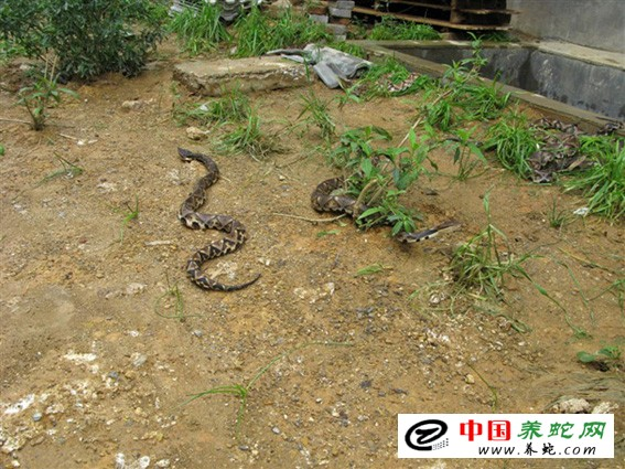 致富经之养殖五步蛇