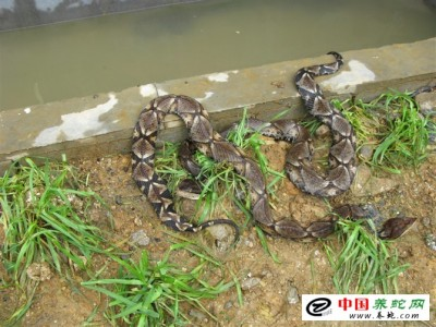 湖南五步蛇养殖