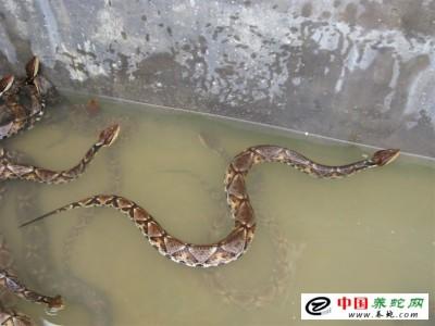 浙江台州五步蛇养殖的栖息环境