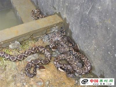 五步蛇养殖场图片