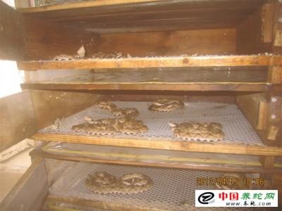 陈良菊五步蛇养殖场