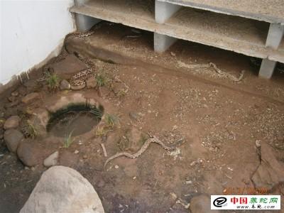 福建养殖五步蛇