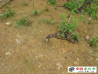 养殖五步蛇 毒