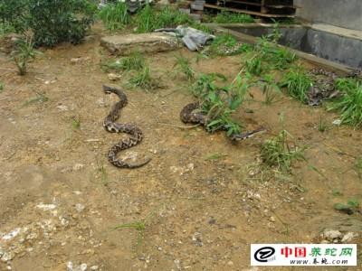 福建养殖五步蛇注意事项