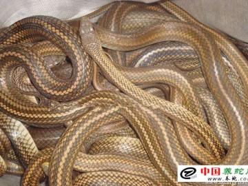 养蛇能赚钱吗?
