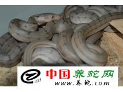 江苏 徐州 需要大王蛇苗