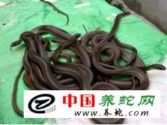 广西扶绥出几百斤商品收水律蛇