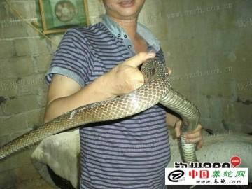 哪里有养蛇专业户