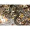 广西百色养殖场供应商品蛇