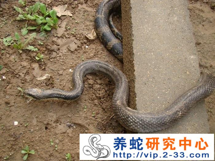 东养蛇场_山东烟台养蛇基地