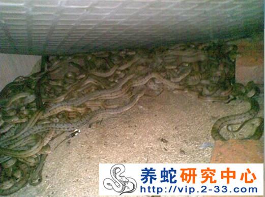 幼蛇饲养 仔蛇孵化出生后,缸内主 以后可用小泥鳅、小黄鳝、刚出生