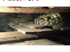 广西北海 有大小一起出售大王商品蛇