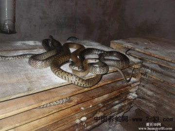 四川养蛇技术
