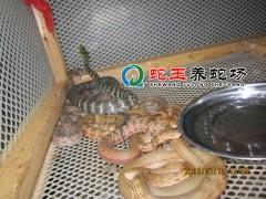 2014年(nian)出殼的大王(wang)蛇(she)幼(you)蛇(she) (8)