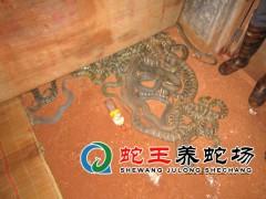 大王蛇养殖 (9)