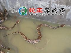 五步蛇养殖 (1129播放)