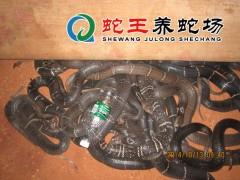 2015年蛇王眼镜蛇养殖 (19)
