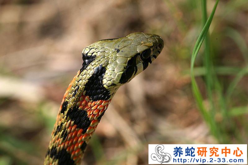 毒蛇咬伤与无毒蛇咳伤的鉴别