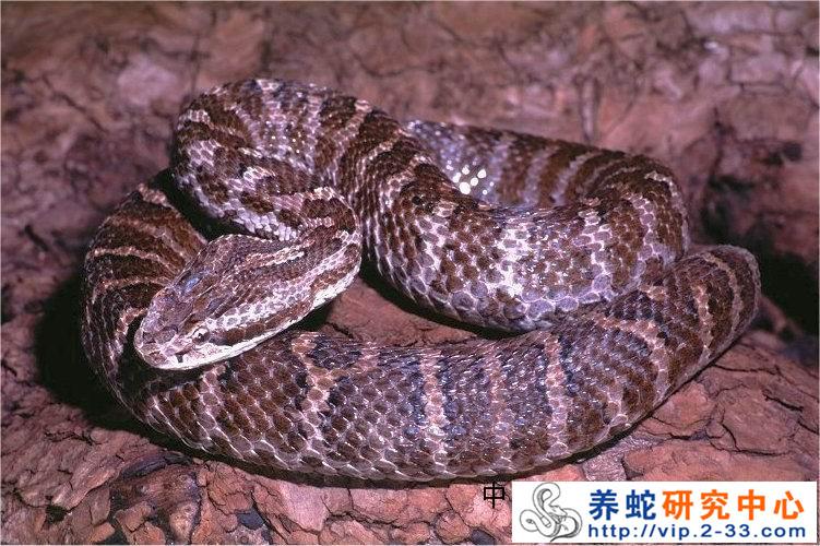 蛇类的冬眠 养蛇技术