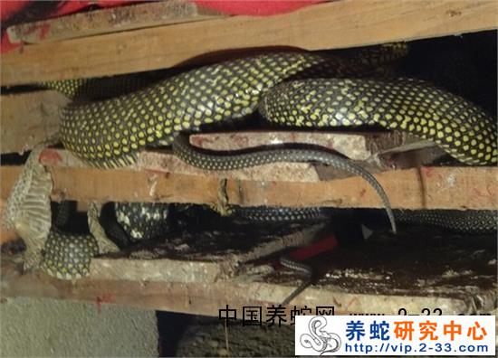 (二)立体式蛇窝