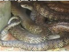 常年广西广东收购水律蛇