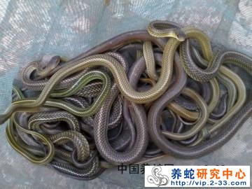 黑背白环蛇和鸟梢蛇