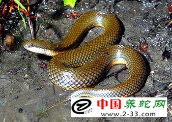 金边水蛇养殖技术_养蛇技术