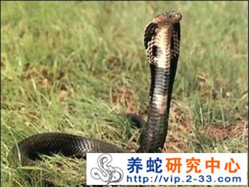蛇类眼镜蛇科——眼镜王蛇