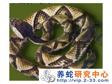 蝰蛇科——五步蛇