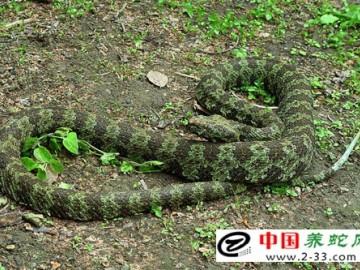 蛇的人工选育