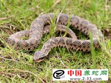 蝮蛇的养殖