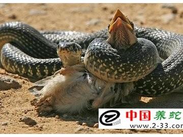 蛇饲料——鸟类的培育 ()