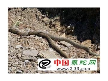 雌雄蛇的鉴别和配种比例
