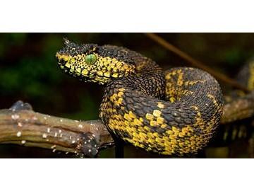 蝰蛇咬伤的诊断