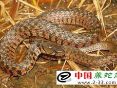 蛇病治疗——肠炎