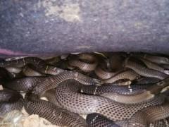 蛇病治疗—— 胆囊炎