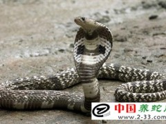 毒蛇咬伤的临床诊断