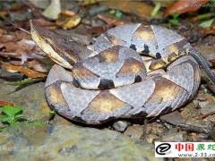 早期救治蛇伤易出现的失误