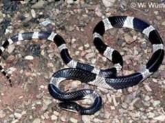 不同毒蛇咬伤中毒的不同表现