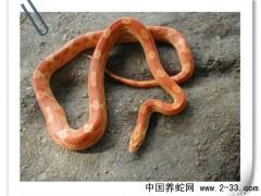 蛇类疾病 肝炎