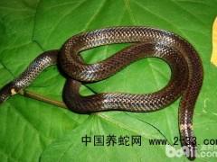蛇病 霉斑病
