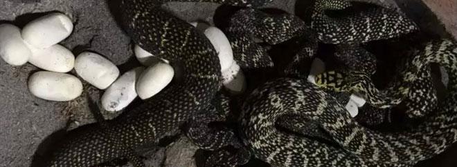 大王蛇母蛇产蛋