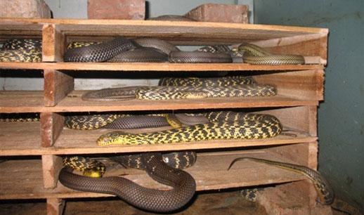 大王蛇自繁自养