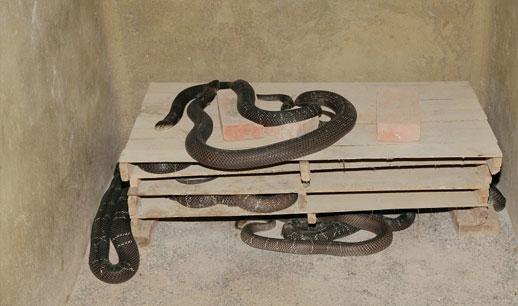 眼镜蛇养殖