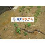 五步蛇幼蛇开口技术