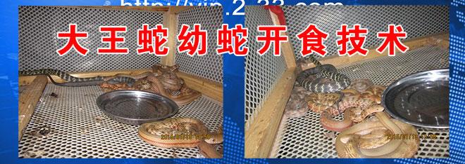 大王蛇幼蛇开食技术